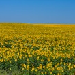 Sunflower field over blue sky — Stock Photo #12441592