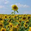 Sunflower field over blue sky — Stock Photo #12654933