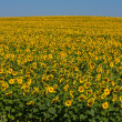 Sunflower field over blue sky — Stockfoto