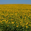 Sunflower field over blue sky — Foto Stock