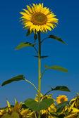поле подсолнечника над голубое небо — Стоковое фото