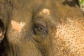 Détail oeil éléphant — Photo