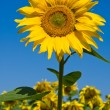 Sunflower field over blue sky — Stock Photo #12718384