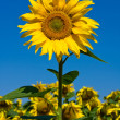 Sunflower field over blue sky — 图库照片