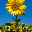 Sunflower field over blue sky — Stock Photo #12851271