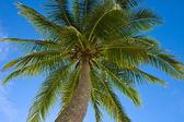 Palmera de cocos — Foto de Stock