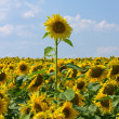 Sunflower field over blue sky — Stock Photo #13271020