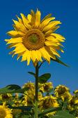 Campo de girasol sobre cielo azul — Foto de Stock