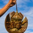 Horseshoe crab — Stock Photo