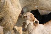 Goatling hovno kozí vemeno — Stock fotografie