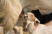 The goatling sucks goat udder — Stock Photo