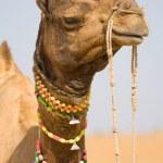 Camel, India — Stock Photo