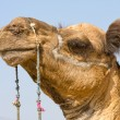 Camel, India — Stock Photo #15382635
