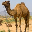 Camel, India — Stock Photo