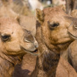 Camels — Stock Photo #15601825