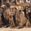 Camels — Stock Photo #15601847