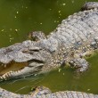 Crocodile — Stock Photo #16250289