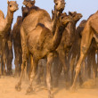 Camels — Stock Photo #17171439