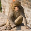 Macaque monkey - Stock Photo