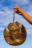 Horseshoe crab — Stock Photo