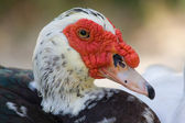Domestic muscovy duck — Stock Photo