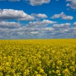 Rapeseed field — Stock Photo #19981043