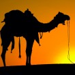 Silhouette camel at sunset , India. — Stock Photo
