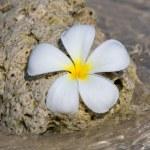 White Frangipani flower ( plumeria ) — Stock Photo #20070449