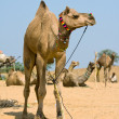 Camel at Pushkar Fair , Rajasthan, India — Stock Photo #20533095