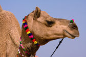 Camel at the Pushkar Fair , Rajasthan, India — Stock Photo