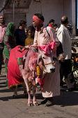 PUSHKAR, INDIA - NOVEMBER 18: Portrait of unidentified old rajasthani Sadhu,wandering hindu monk with holy cow who going to annual camel mela holiday in Pushkar on November 18,2012 in Pushkar,India — Stock Photo