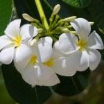 White Frangipani flower ( plumeria ) — Stock Photo #20996947