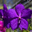 Stock Photo: Purple orchid flower