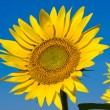 Sunflower field over blue sky — Stock fotografie