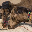 Camel at Pushkar Fair , Rajasthan, India — Stock Photo #22440255