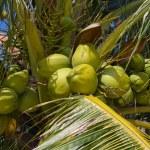 Coconut tree — Stock Photo #22601483