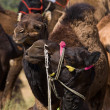 Camel at Pushkar Fair , Rajasthan, India — Stock Photo #22602073