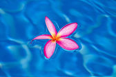 Tropical pink frangipani floating in blue pool — Stock Photo