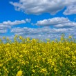 Rapeseed field — Stock Photo #23566945