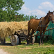 A chestnut mule harnessed to a traditional hay cart. Ukraine. - Stock Photo