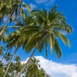 Stock Photo: Coconuts palm tree
