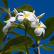 White Frangipani flower at full bloom during summer (plumeria) — Stock Photo #24390847