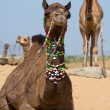 Camel at Pushkar Fair , Rajasthan, India — Stock Photo #24574669