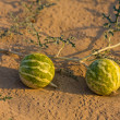 Small watermelon in the desert — Stock Photo #24860559