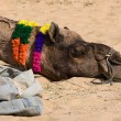 Camel at Pushkar Fair , Rajasthan, India — Stock Photo #24860565