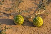 Small watermelon in the desert — Stock Photo