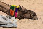 Velbloud v pushkar spravedlivé, rajasthan, Indie — Stock fotografie