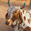 Cow, Pushkar , Indi. — Stock Photo #26373455