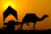 Silhouette camel at sunset in India . — Stock Photo