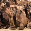 Stock Photo: Camel at Pushkar Fair , India